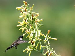 Observación de aves en Valle del K'osñipata